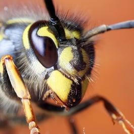 wasp-sting